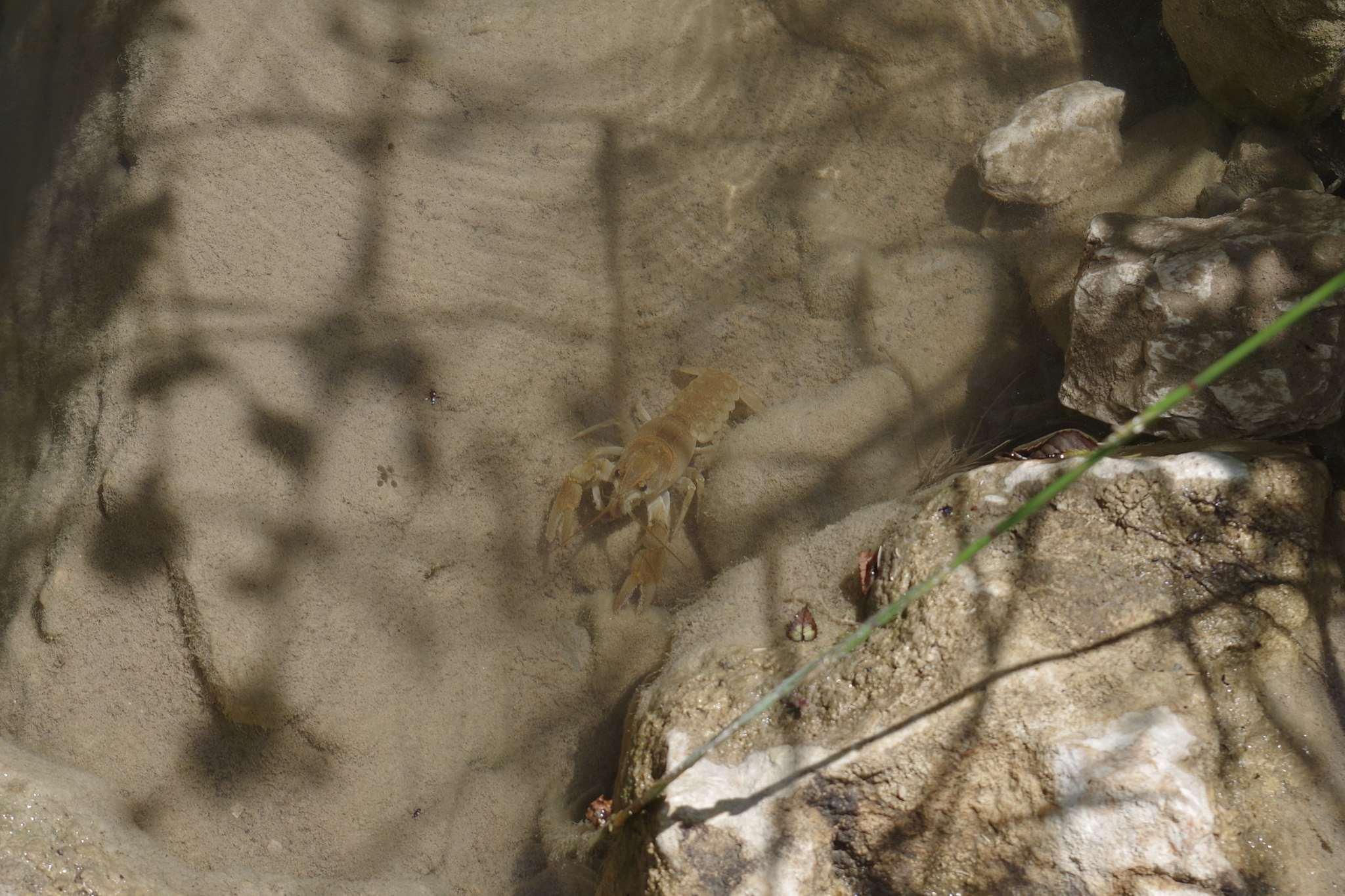 Image of <i>Austropotamobius italicus</i>
