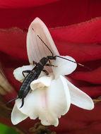 Image of Black Earwig