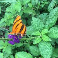 Image of Banded Orange Heliconian