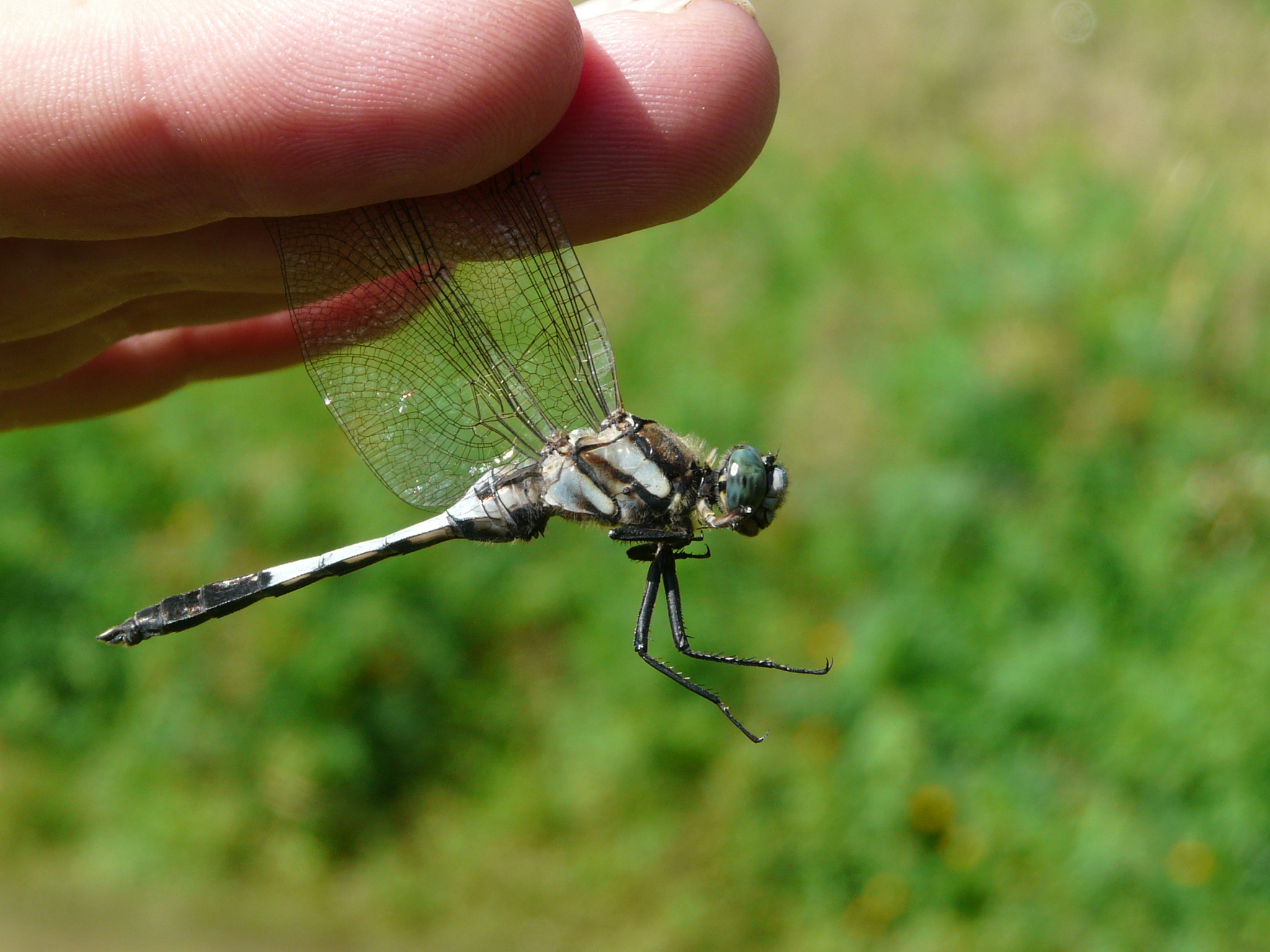 Image of White-tailed Skimmer
