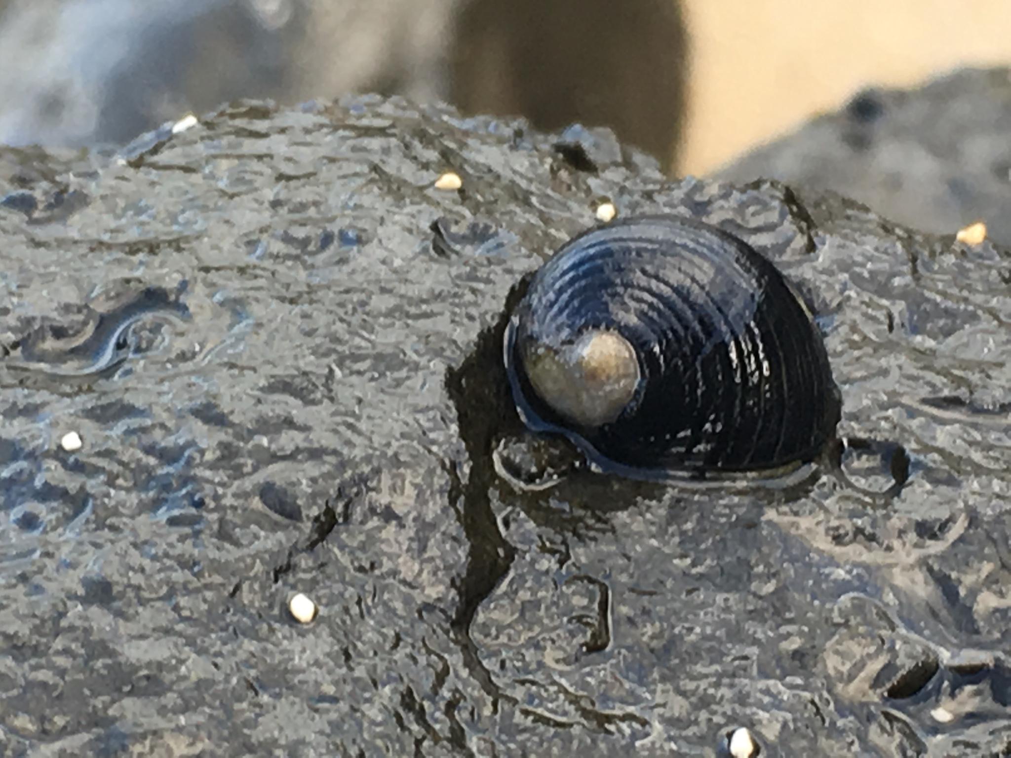 Image of <i>Nerita picea</i> Récluz 1841