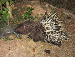 Image of Malayan Porcupine