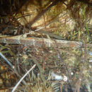 Image of Narrow-snouted Pipefish