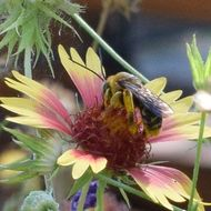 Image of Sunflower bee