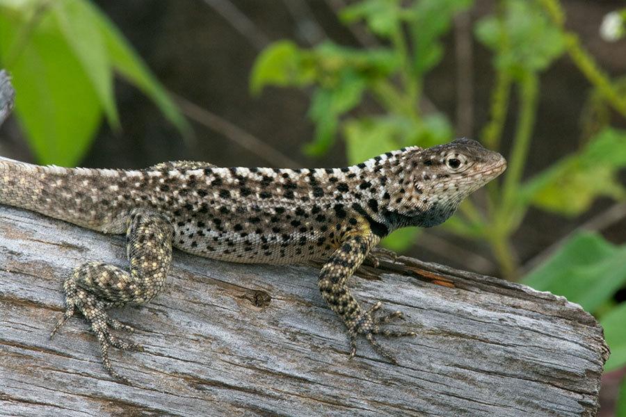 Image of Floreana Lava Lizard