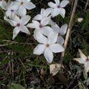 Image of <i>Phlox multiflora</i>
