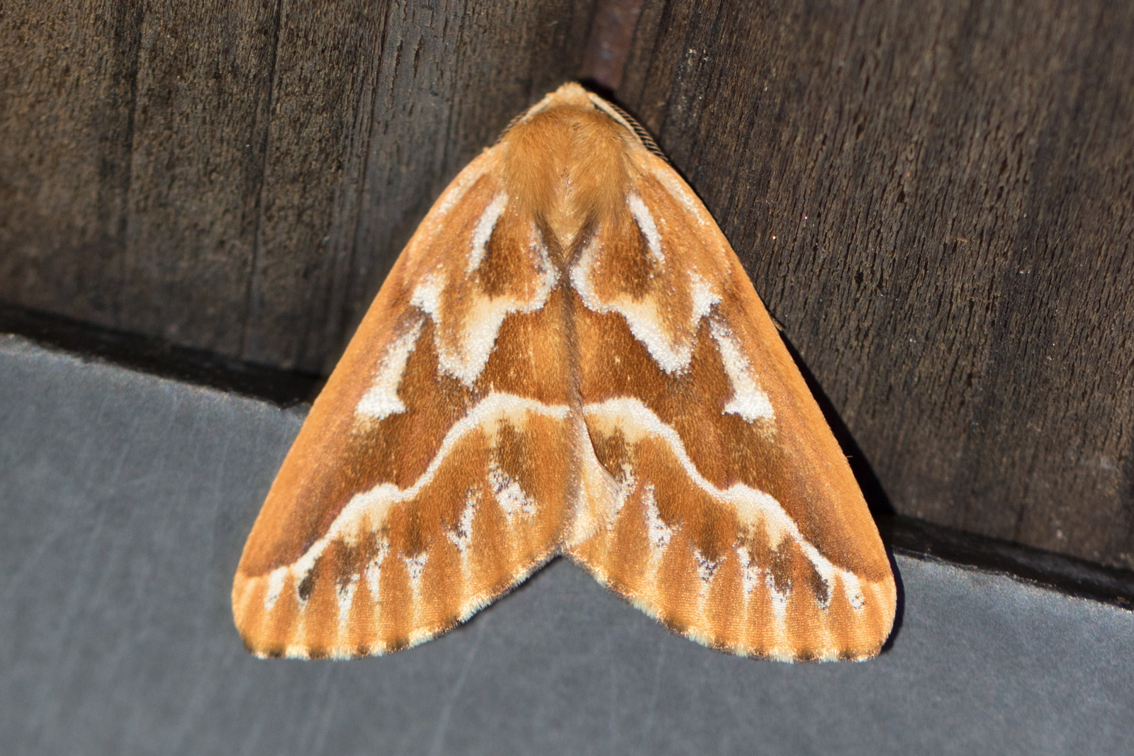 Image of Northern Pine Looper