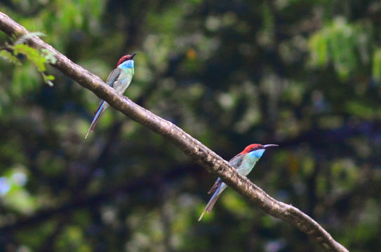 Image of Blue-throated Bee-eater