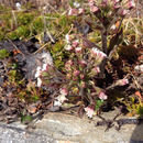 Image of arctic sweet coltsfoot