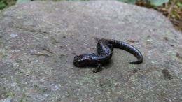 Image of Leprous False Brook Salamander