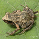 Image of Brown Peeping Frog