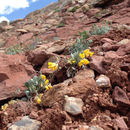 Image of <i>Physaria alpina</i>