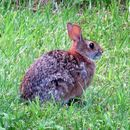 Image of Allegheny Cottontail