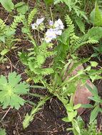 Image of <i>Polemonium pulcherrimum delicatum</i>