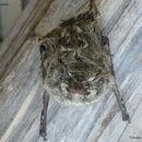 Image of Proboscis Bat