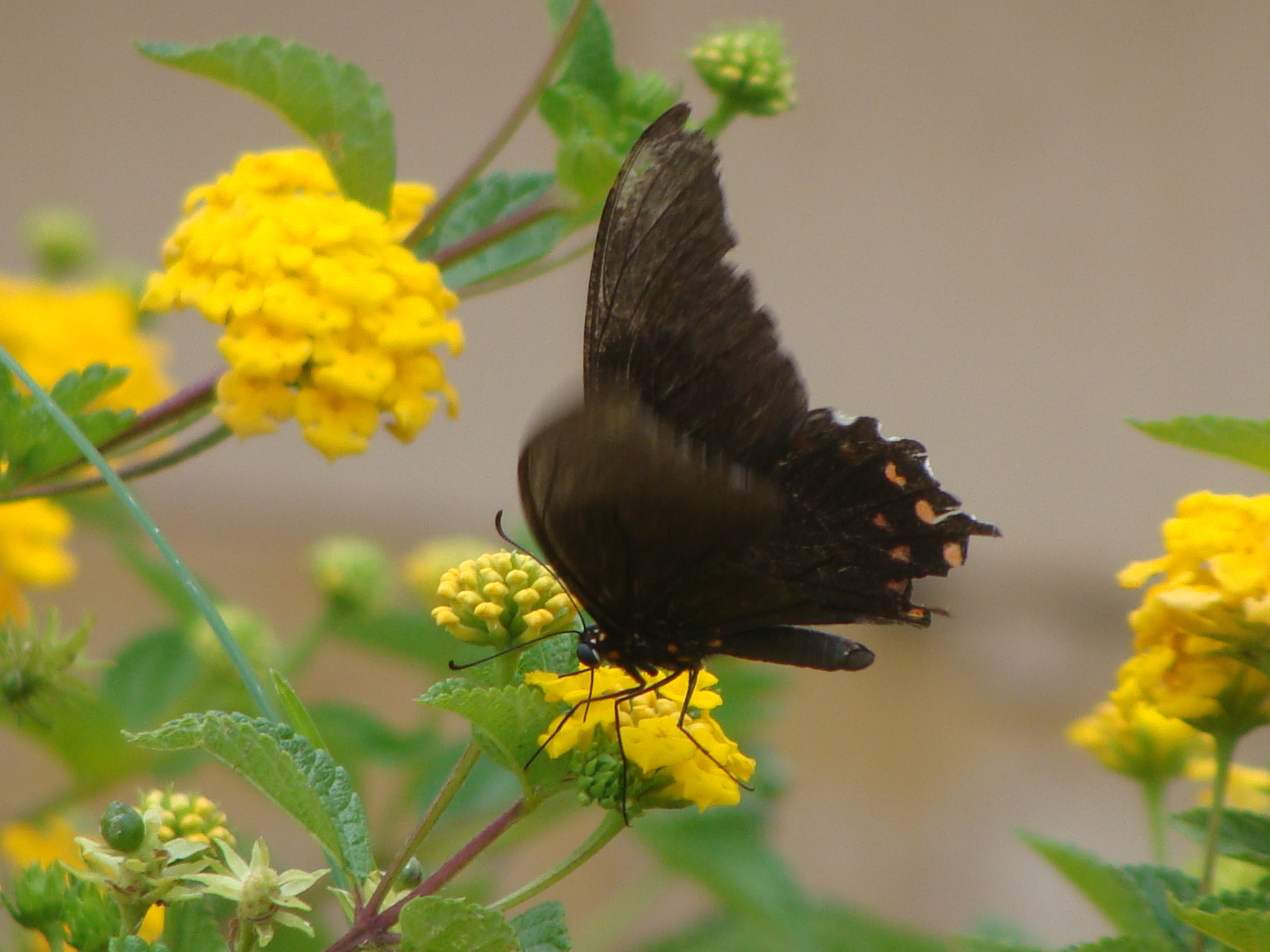 Image of Pink-spotted Swallowtail