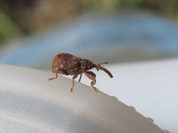 Image of <i>Anthonomus quadrigibbus</i>