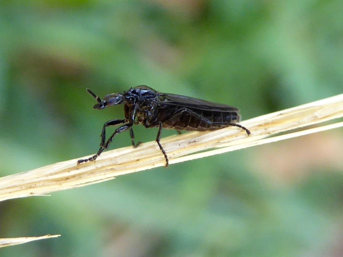 Image of <i>Dilophus orbatus</i> (Say 1823)