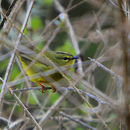 Image of Two-banded Warbler