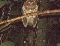 Image of Puerto Rican Screech Owl