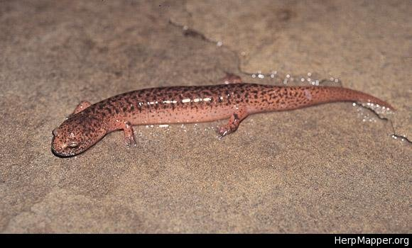 Image of Northern red salamander