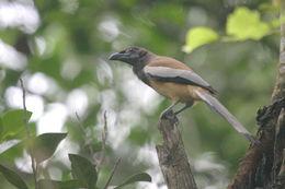 Image of Rufous treepie