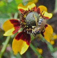 Image of Andrenine bee