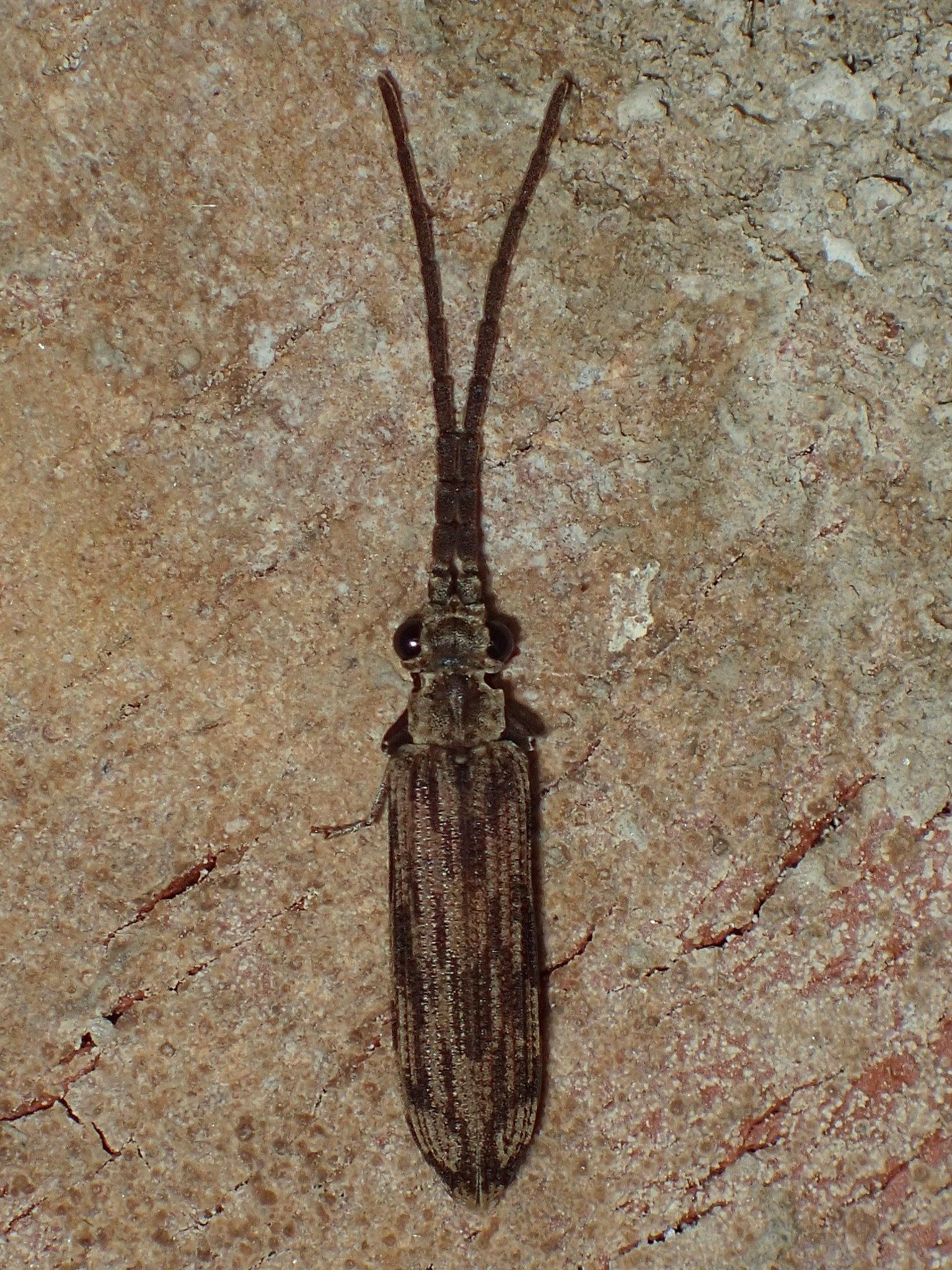 Image of <i>Tenomerga cinerea</i> (Say 1831)