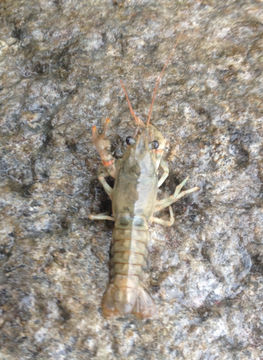 Image of Calico Crayfish