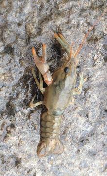 Image of Calico Crayfish