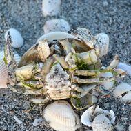 Image of Calico Crab