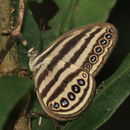 Image of <i>Ragadia makuta</i> Horsfield 1829