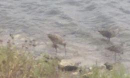 Image of Marbled godwit