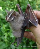 Image of Common Tent-making Bat
