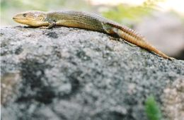 Image of Chihuahuan Alligator Lizard
