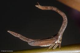 Image of <i>Cladonota</i> (<i>Falculifera</i>) <i>apicalis</i> Stål