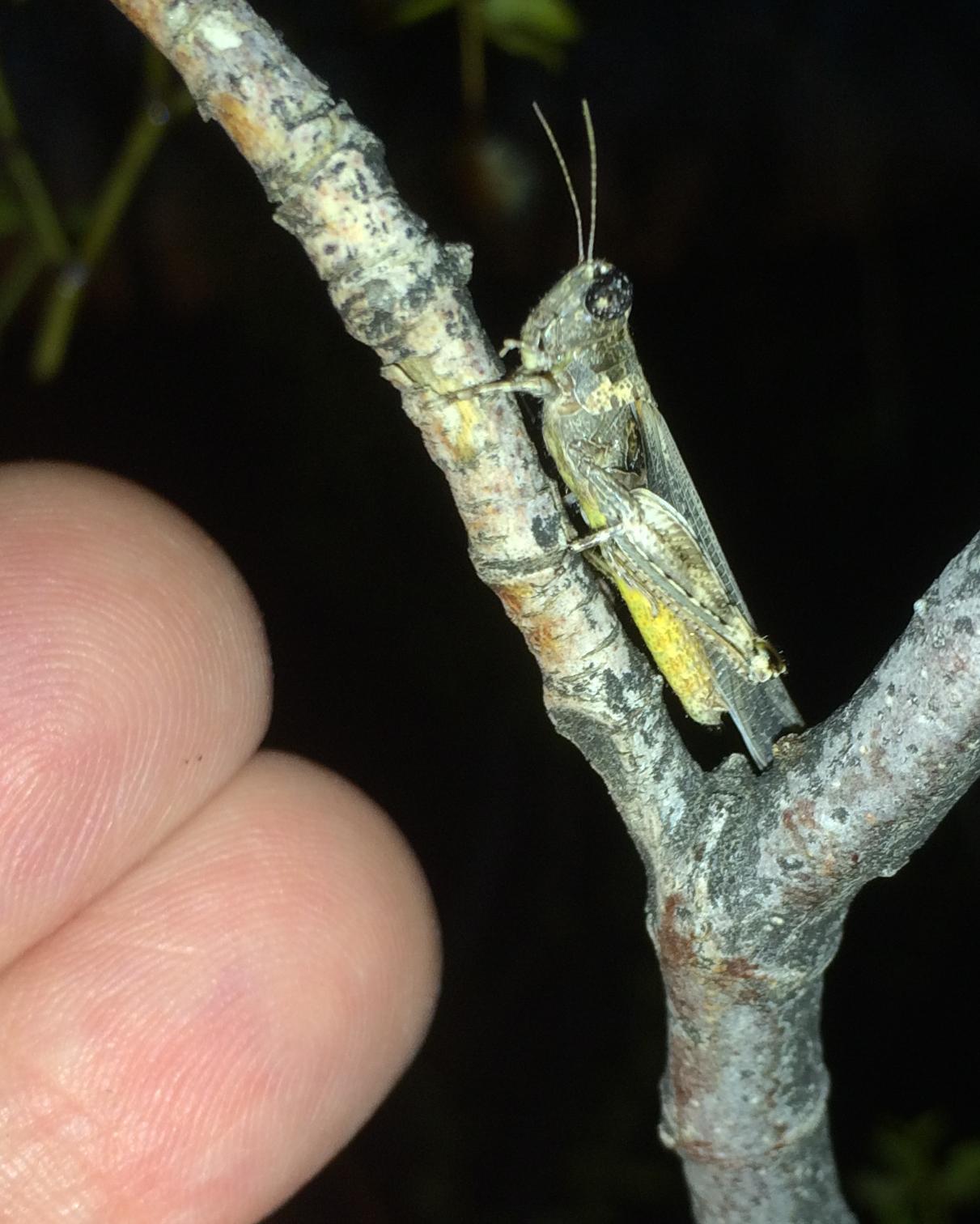 Image of Desert Clicker Grasshopper