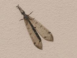 Image of <i>Distoleon tetragrammicus</i> (Fabricius 1798)