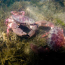 Image of Pacific rock crab