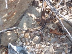 Image of Canyon spotted whiptail