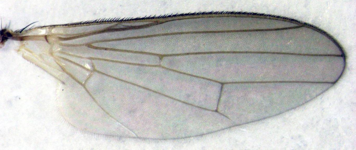 Image of kelp flies