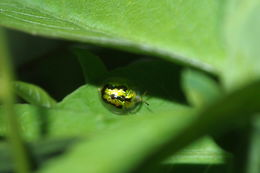 Image of <i>Cassida</i> (<i>Crepidaspis</i>) <i>circumdata</i> Herbst 1799