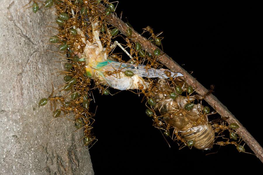 Image of Asian Weaver Ant