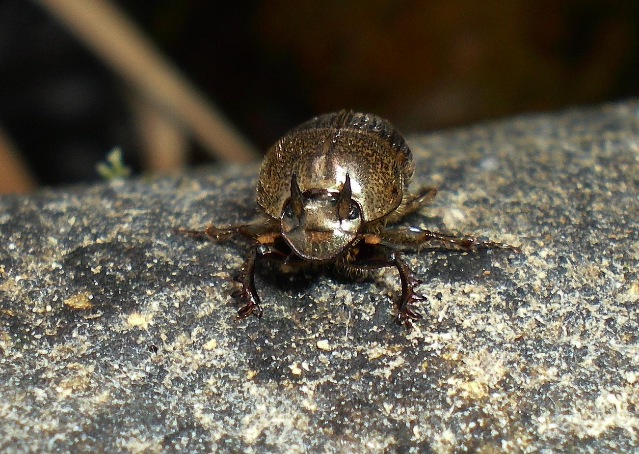 Image of <i>Onthophagus</i> (<i>Serrophorus</i>) <i>rectecornutus</i> Lansberge 1883