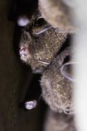 Image of Chocolate Wattled Bat