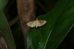 Image of <i>Cotachena histricalis</i> Walker 1859