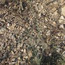 Image of Colorado greenthread