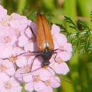 Image of <i>Pedostrangalia pubescens</i>