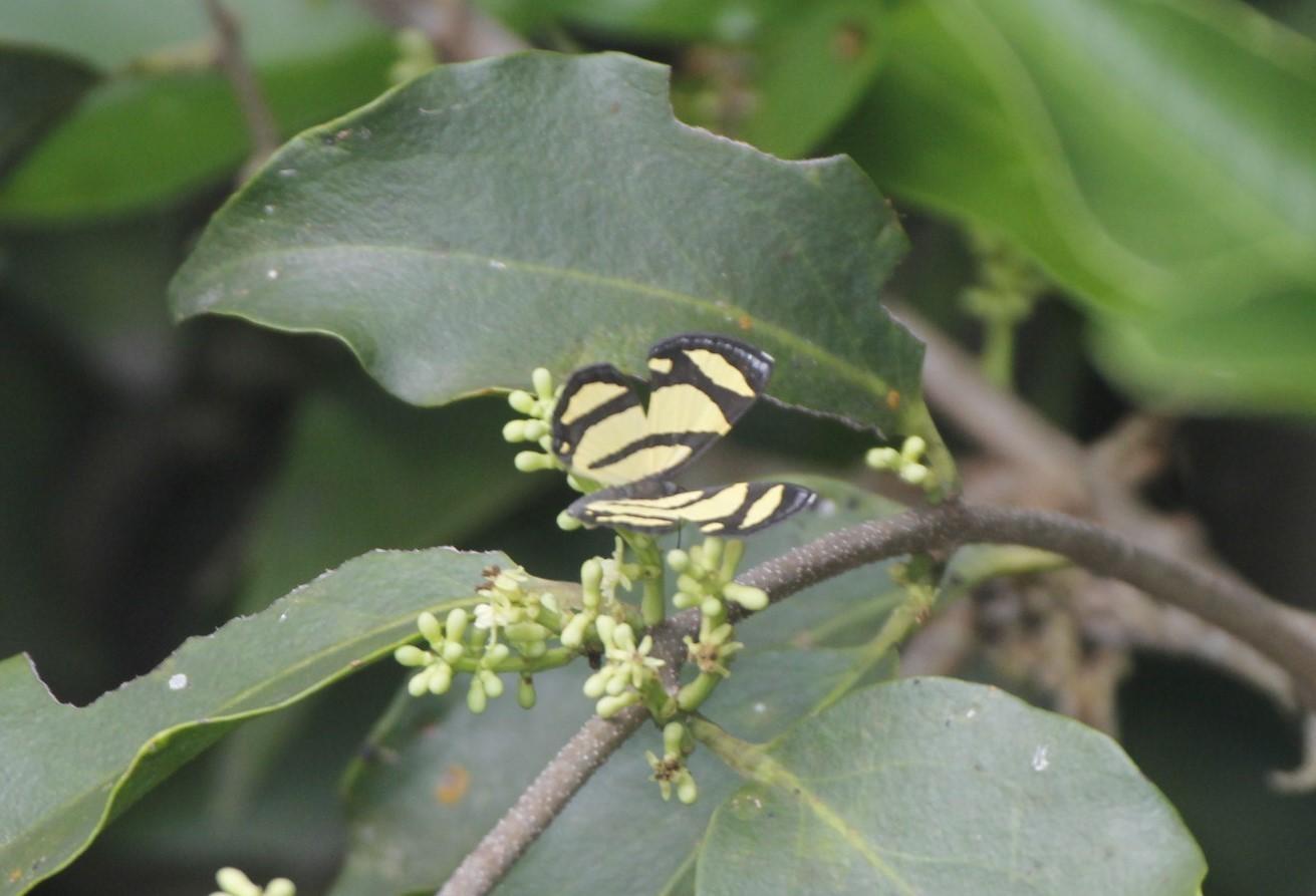 Image of <i>Baeotis <i>zonata</i></i> ssp. zonata