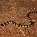 Image of Desert Banded Snake